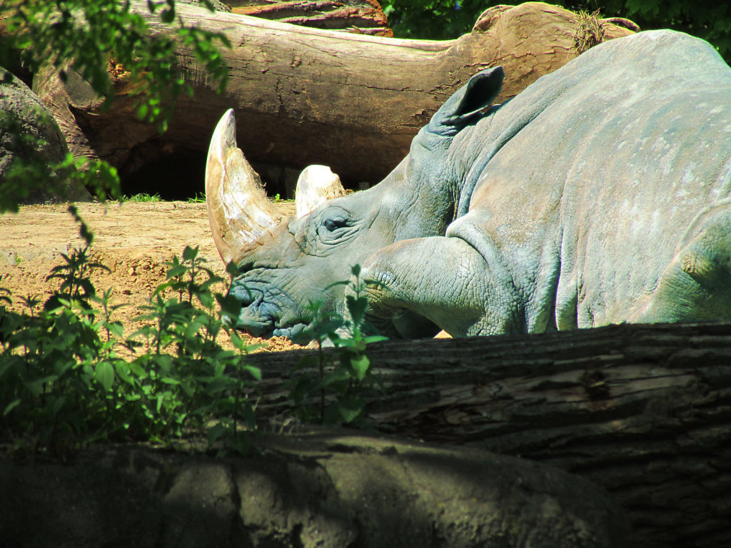 Baby blue rhino resting in the sun