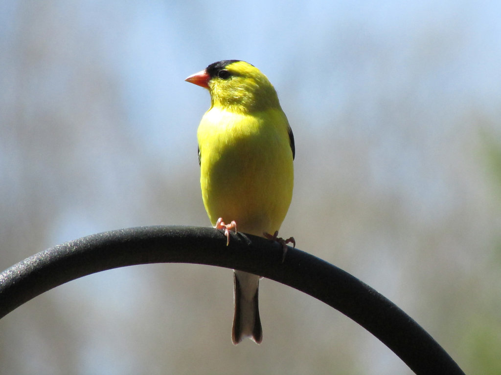 American yellow finch perched on an iron structure
