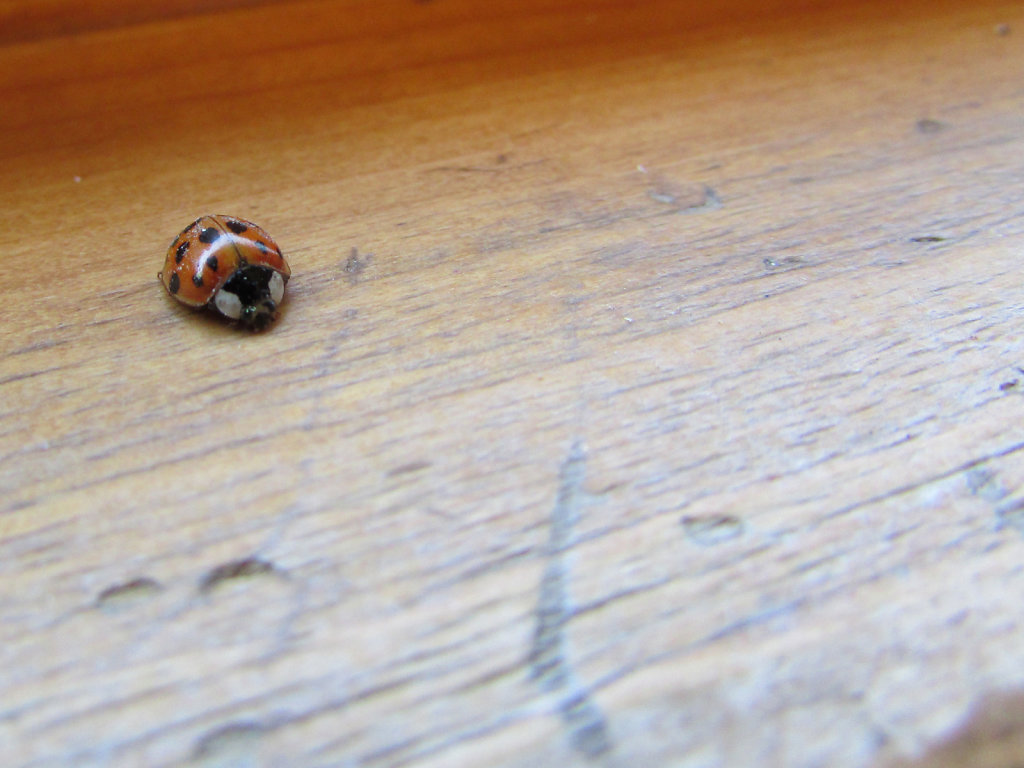 Picture of lady bug on wooden surface