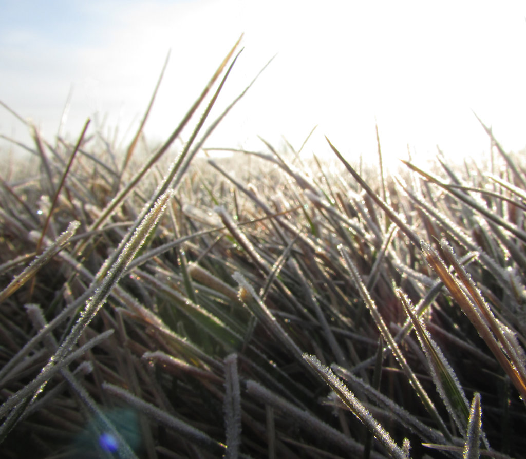 picture of grass blades with morning frost ice crystals