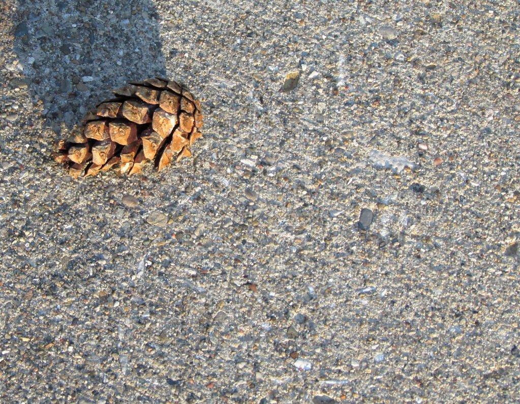Pine cone on a concrete sidewalk