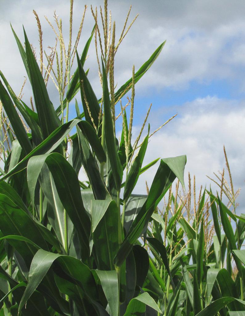 Picture of corn stalk