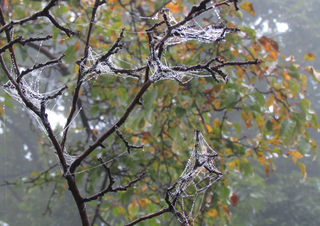 Spiderwebs on tree branches
