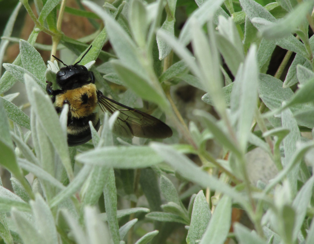 Bumble bee in the flower bed
