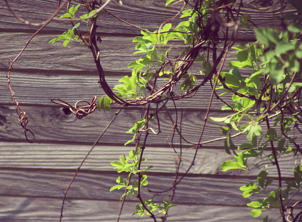 Vine draped on wood slit fence