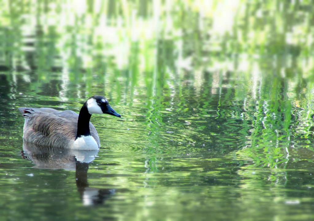 goose swimming in water