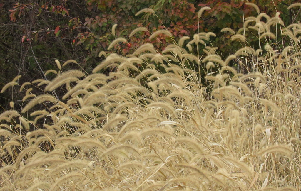 Picture of wild grass with seed heads