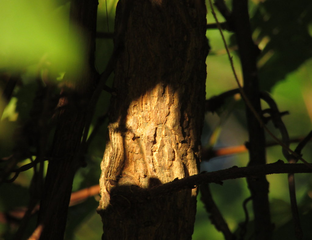Wild grape vine bark in the sun