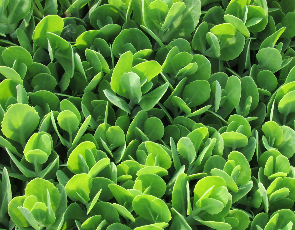 Green ground cover picture